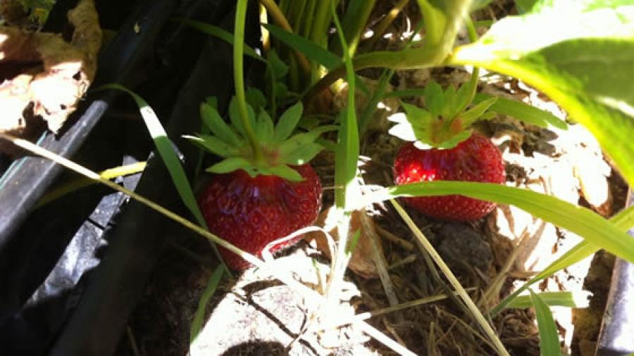 Köstliche Erdbeeren