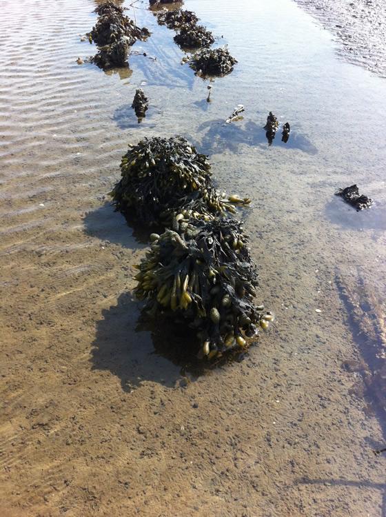 Welche Fülle: frische Algen an der Nordsee-Küste