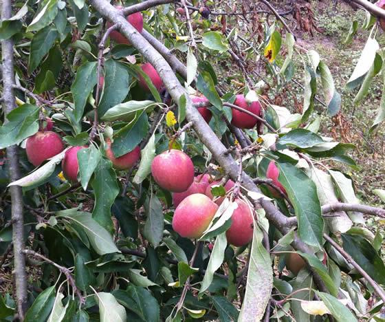 Auch die Äpfel brauchen noch ein Weilchen