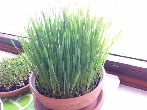 Fertig zum Ernten - das Weizengras ist 10-15 cm hoch