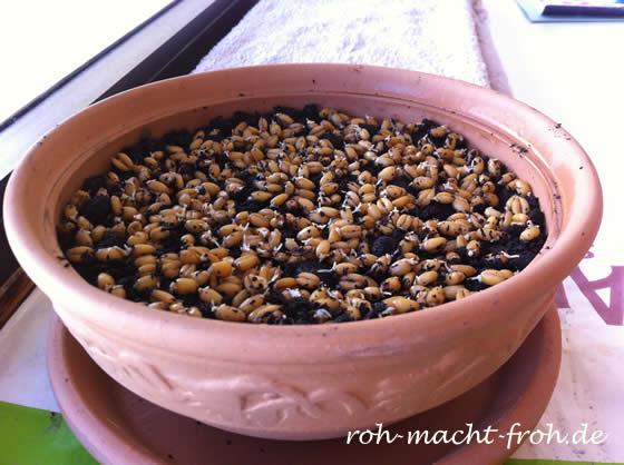 Angekeimten Weizen auf der Erde verteilen