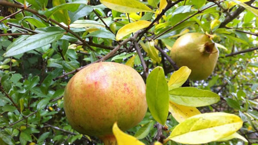 ... und bald auch die Granatäpfel