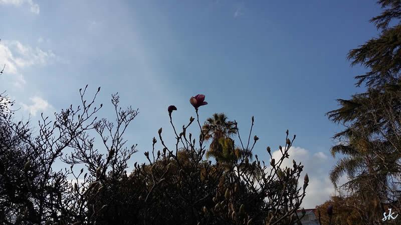 Einzelne Blüte an einem fast kahlen Baum im winterlichen Botanico