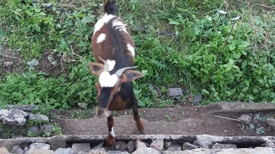 1802-message-goat