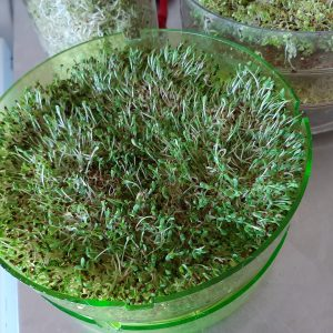 Rawvegan Living Foods Sprouts Alfalfa