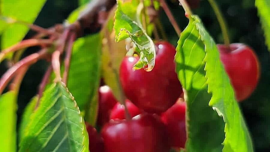 Kirschen frisch vom Baum - Gesunde Rohkost