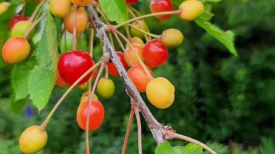 Früchte: Sauerkirschen
